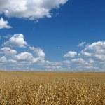 Golden oat field over blue sky 2 — Stock Photo
