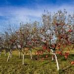 Red apple trees — Stock Photo