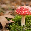Dangerous red toadstool in autumn forest — Foto de Stock