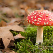 Dangerous red toadstool in autumn forest — Stock Photo