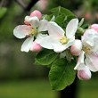 Apple blossom in spring — Stock Photo