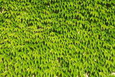 Ivy green leaves background — Stock Photo