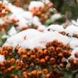 Stock Photo: First snow on rowberries