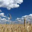 Stock Photo: Golden wheat field over blue sky