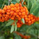Rowan berries on a tree — Stock Photo