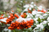First snow on rowan berries — Stock Photo