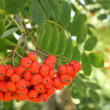 Stock Photo: Rowberries on tree