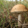 Single boletus in a forest — Stock Photo