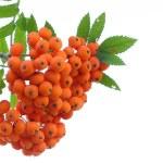 Rowan berries isolated on white — Stock Photo