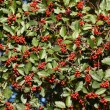 Stock Photo: Red hawthorn berries - natural texture