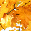 Stock Photo: Yellow oak leaves - natural texture
