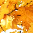 Yellow oak leaves - natural texture — Stock Photo