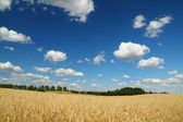 Golden wheat field, blue sky and clouds — Stock Photo