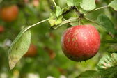 Single ripe apple on a tree — Stock Photo