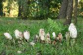 Gruppo di funghi velenosi in un bosco — Foto Stock