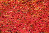 Creeper red leaves - natural texture — Stock Photo