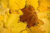 Brown leaf on yellow leaves — Stock Photo