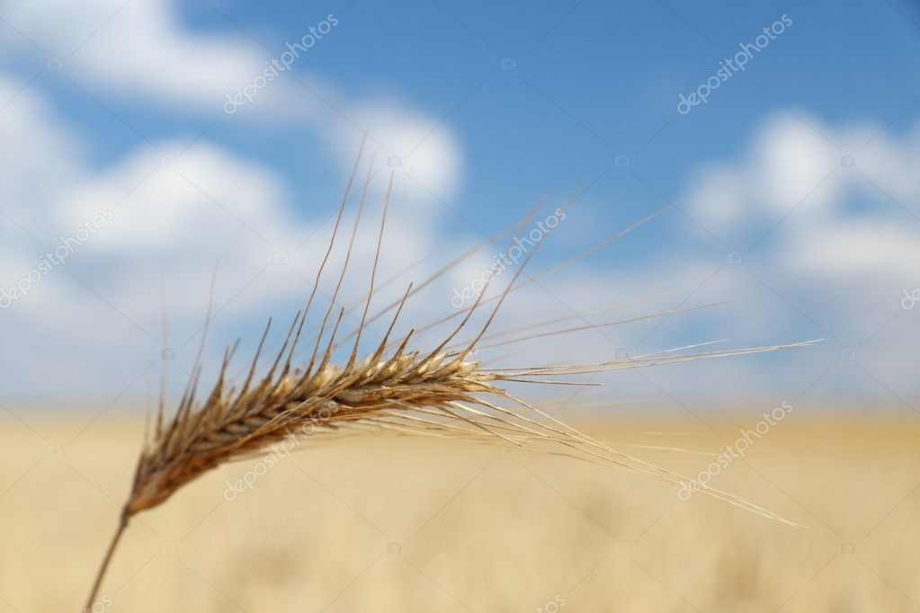 Single rye spike over golden rye field  Stock Photo #1840083