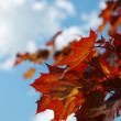 Maple leaves — Stock Photo #2044790