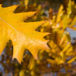 Yellow oak leaf in autumn — Stock Photo