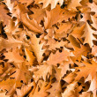 Stock Photo: Golden oak leaves