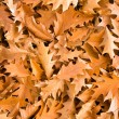 Golden oak leaves - Stock Photo