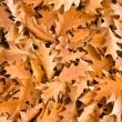Golden oak leaves — Stock Photo