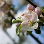 Постер, плакат: Spring apple blossom