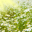 Stock Photo: Chamomile field and sun rays