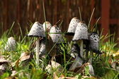Group of poisonous mushrooms in a grass — Стоковое фото