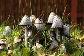 Skupina jedovatých hub trávě — Stock fotografie