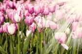 Purple tulips and rays of sun — Stock Photo