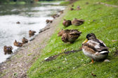 Ducks on a pond shore. — Stock Photo