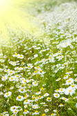 Chamomile field and sun rays — Stock Photo
