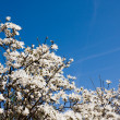 Stock Photo: White magnolia over blue sky