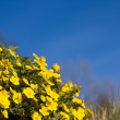 Small yellow flowers over blue sky — Stock Photo #2362019
