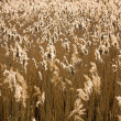 Reed field in sunset light — Stock Photo