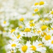 Bright daisy field in spring — Foto Stock