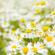 Bright daisy field in spring — Stockfoto