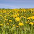 Field of yellow dandelions — Stock Photo