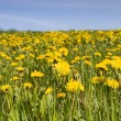 Field of yellow dandelions — Stock Photo #2362096