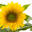 Sunflowers isolated on white — Stock Photo #2362161