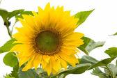 Sunflowers isolated on white — Stock Photo