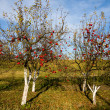 Red apples on trees — Stock Photo