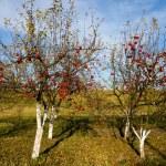 manzanas rojas en los árboles — Foto de Stock