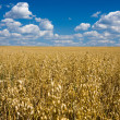 Oat field and blue sky — Stock Photo #2528125