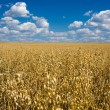 Oat field and blue sky - Stock Photo