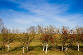 Apple trees with ripe fruits — Stock Photo