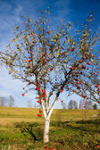 Apple tree with red fruits — Stock Photo
