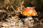 Young red toadstool — Stock Photo
